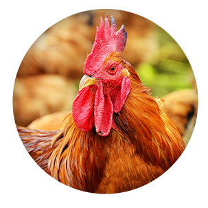 Poultry Insurance